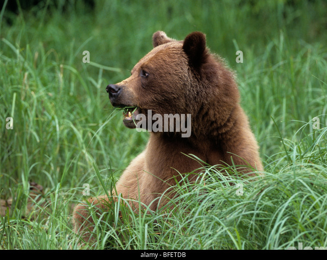 Female Grizzly bear (Ursus arctos horribilis) grazing on Lyngby's sedge Khutzeymateen Grizzly Bear Sanctuary - Stock Image