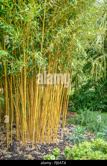 phyllostachys vivax stock photos phyllostachys vivax. Black Bedroom Furniture Sets. Home Design Ideas