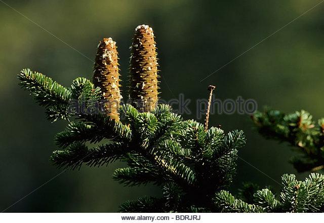 fir cone, Tannenzapfen, Abies alba - Stock Image
