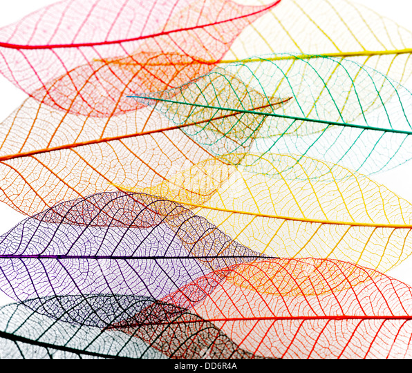 Transparent Skeleton Leaves On White Background - Stock Image