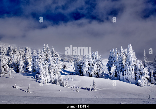 Snow covered trees near Timberline Lodge Oregon - Stock Image