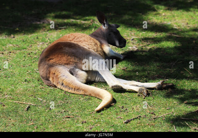 Red kangaro - Stock Image