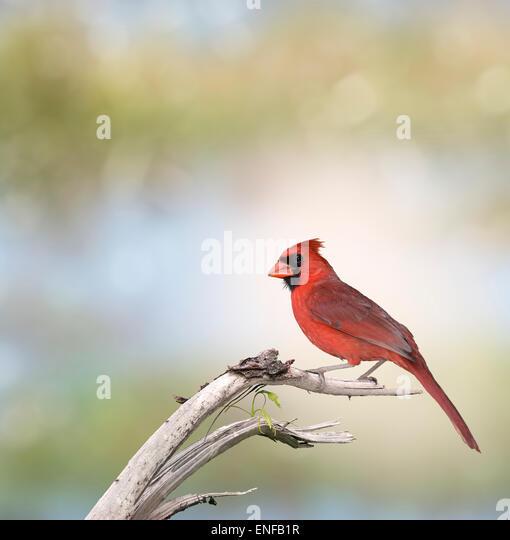 Male Northern Cardinal (Cardinalis cardinalis) - Stock-Bilder