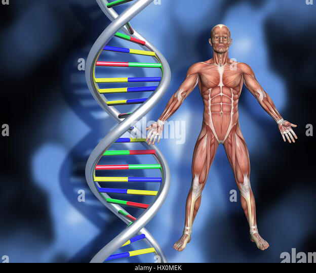 Colourful DNA strands on abstract background with a 3D male medical figure with muscle map - Stock Image
