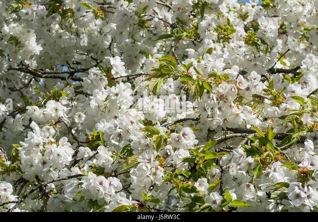 Cherry, Weeping Yoshino cherry, Prunus x yedoensis Shidare Yoshino, Mass of white blossoms growing outdoor. - Stock Image