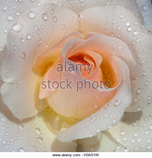 light pink garden rose with water drops - Stock Image