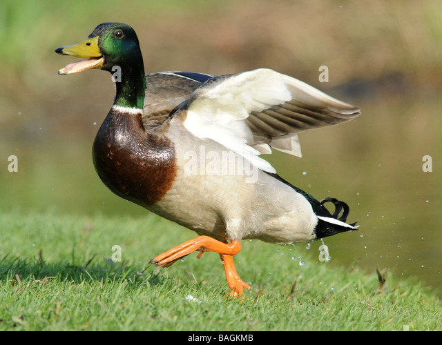 A very happy duck, a smiling duck. - Stock Image