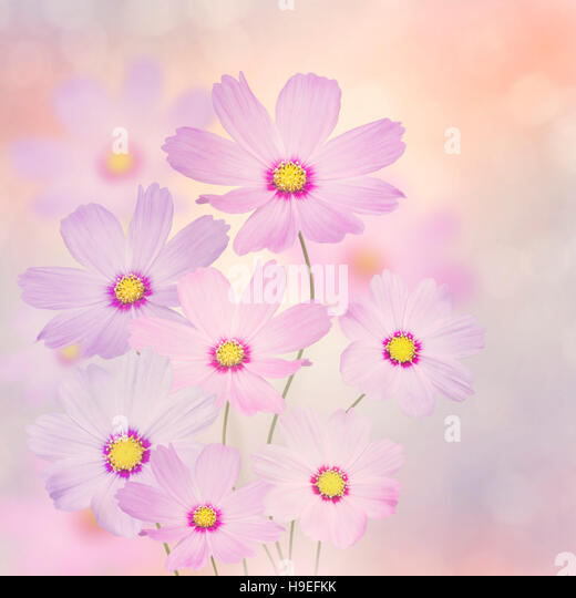 Blossom of Purple Cosmos Flowers - Stock Image