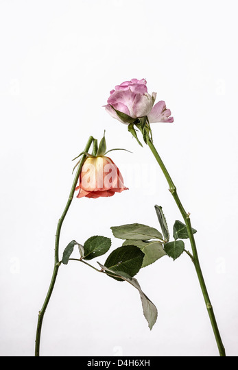 two withered roses, one broken - Stock Image