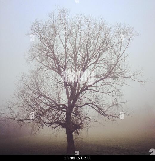 Oak tree in a misty sunrise - Stock Image