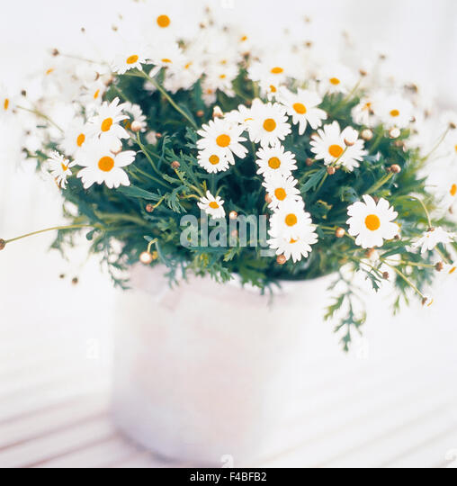 catalogue 2 close-up color image flower flower pot ox-eye daisy plants square Swedish catalogue 4 white - Stock-Bilder