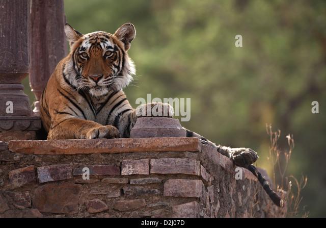 Wild Bengal tiger, Panthera tigris, lying in temple, Ranthambore N P, India - Stock-Bilder
