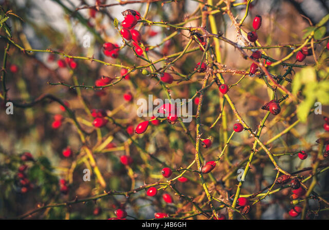 Red Rosa Rugosa plant with spikes in the morning sun in the fall - Stock Image