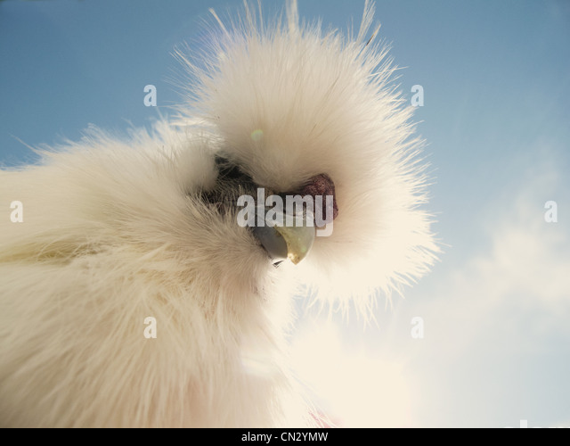 Portrait of a Silkie rooster - Stock Image