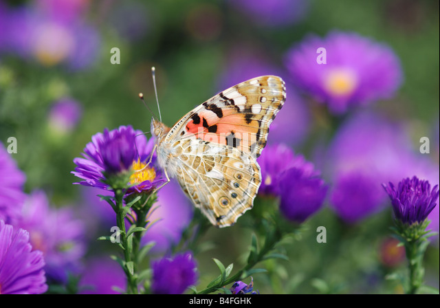 beautiful butterfly on yellow flower - Stock Image