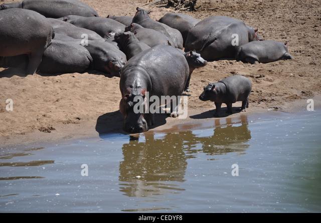 Hippopotamus, Mara river, Savanna, - Stock-Bilder