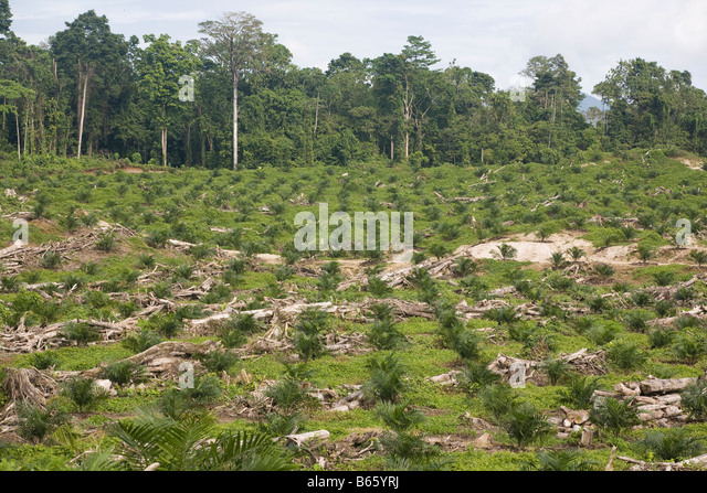 Recently felled natural forest trees lay amongst the newly planted palm oil trees on palm oil plantation, Papua - Stock Image
