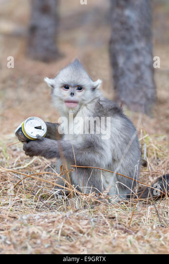 A juvenile Yunnan Snub-nosed Monkey (Rhinopithecus bieti) inspects a piece of trash (beer can) - Stock Image
