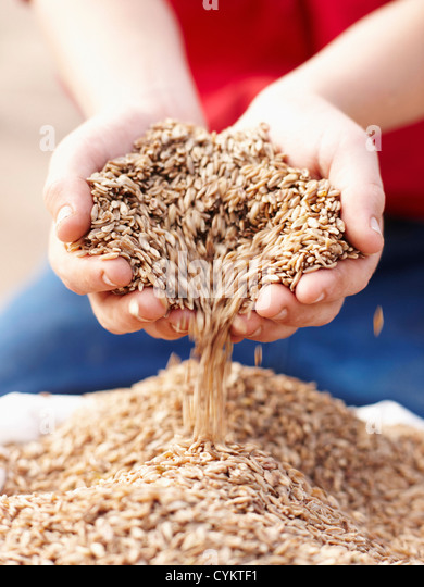 Farmer pouring handful of barley seeds - Stock Image