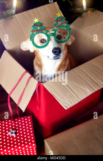 Dog in box, wearing Christmas tree eyeglasses - Stock Image