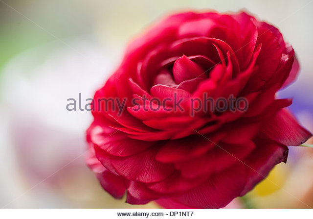Red ranunculus - Stock Image