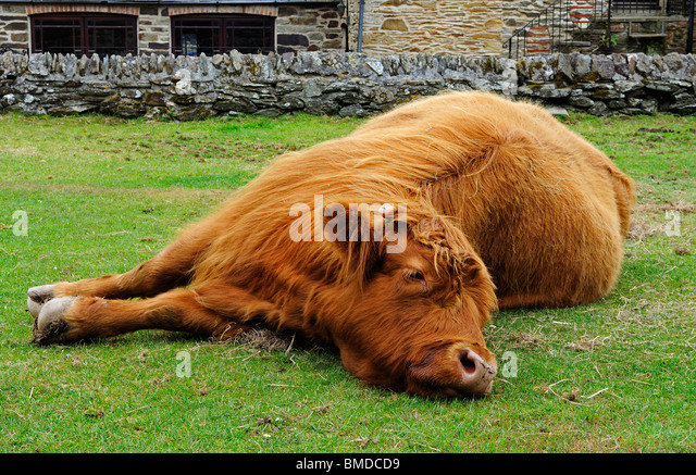 a pet highland cow at a cider farm near truro in cornwall, uk - Stock Image