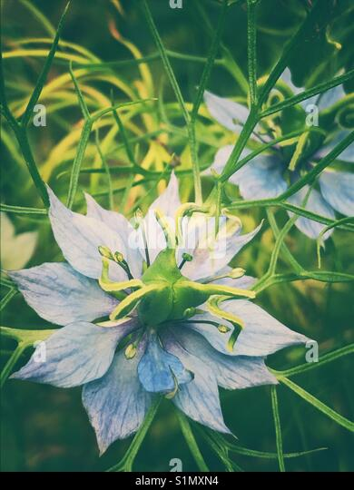 Blue nigella flowers - Stock Image