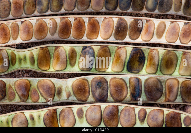 Senna siamea . Kassod tree seed pods abstract pattern - Stock Image