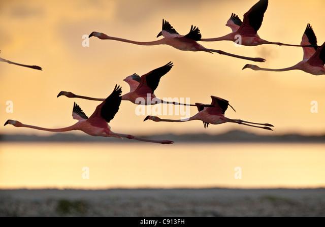 The Netherlands, Bonaire Island, Dutch Caribbean, Kralendijk, American or Caribbean Flamingo ( Phoenicopterus ruber - Stock-Bilder