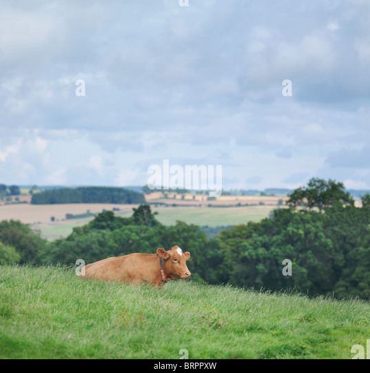 Guernsey cow - Stock Image