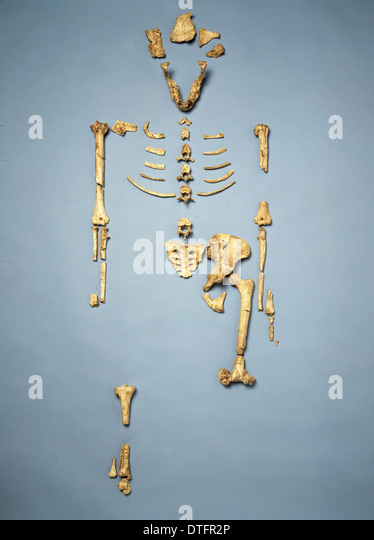 Australopithecus afarensis (AL 288-1) (Lucy) - Stock Image