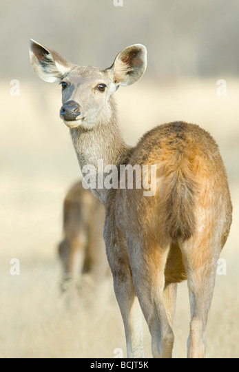 Wild sambar deer - Stock Image