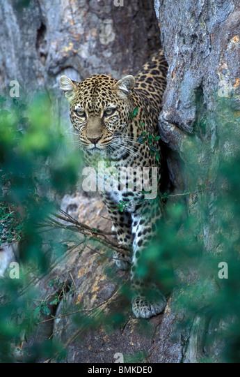 jaguar standing - photo #26