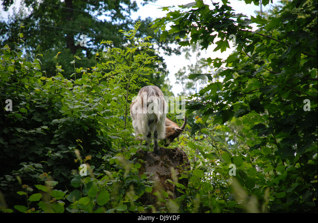Goat in forest - Stock Image