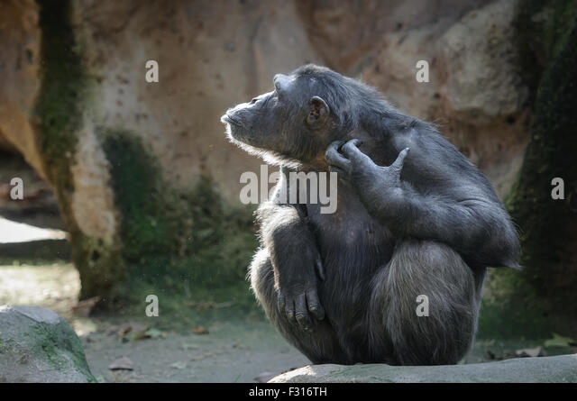 Chimpanzee backlit half faced scratching itself with funny face - Stock Image