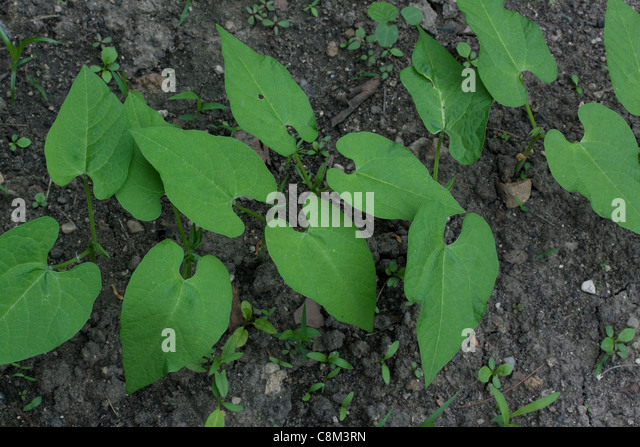 Green bean plants (Phaseolus cultivar) in vegetable garden,mid-June, Michigan USA - Stock Image