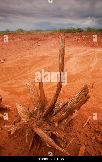 Dry tree in Sarigua national park (desert), Herrera province, Republic of Panama. - Stock Image