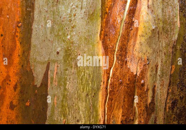 Close up of eucalyptus bark  - Stock Image