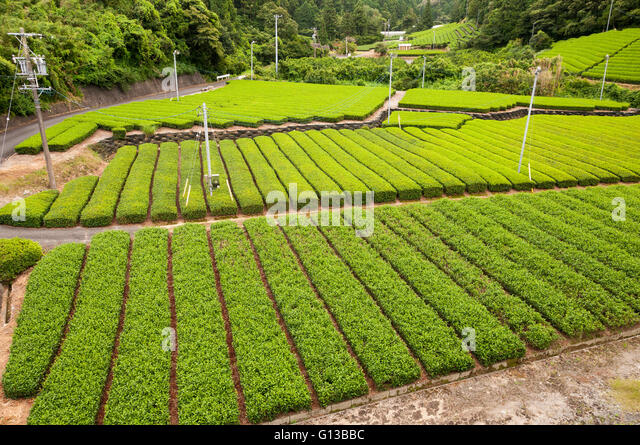 Growing green tea, SHizuoka, Japan - Stock Image