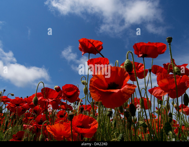 Poppies: in South Downs National Park, Sussex, England, near Falmer, Brighton - Stock Image
