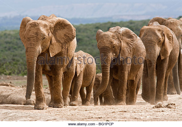 Elephant breeding herd (Loxodonta africana), Addo Elephant National Park, Eastern Cape, South Africa, Africa - Stock Image