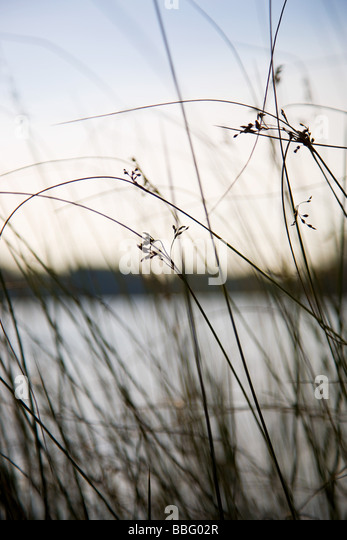 Reeds and a pond in richmond park - Stock Image