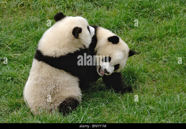 Two young pandas in a playful wrestle, Wolong, Sichuan, China - Stock Image