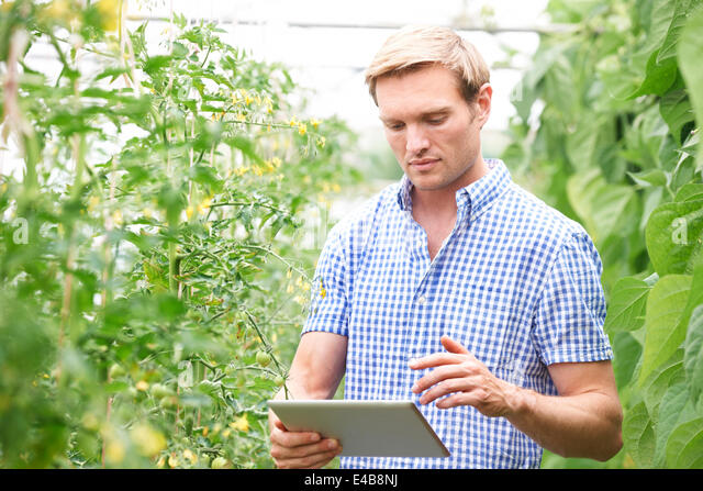 Farmer In Greenhouse Checking Tomato Plants Using Digital Tablet - Stock Image