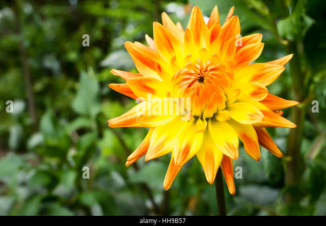 Dahlia Rising Sun  flowering in September in the UK - Stock Image