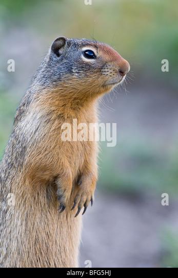 Columbian ground squirrel (Spermophilus columbianus), Glacier National Park, Montana, USA. - Stock Image