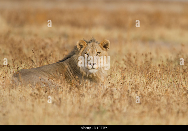 Young male lion in Etosha National Park in Namibia - Stock Image