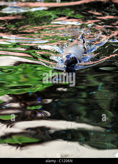 Spheniscus humboldti. The penguin floats in water. Multi-colored reflections. - Stock Image
