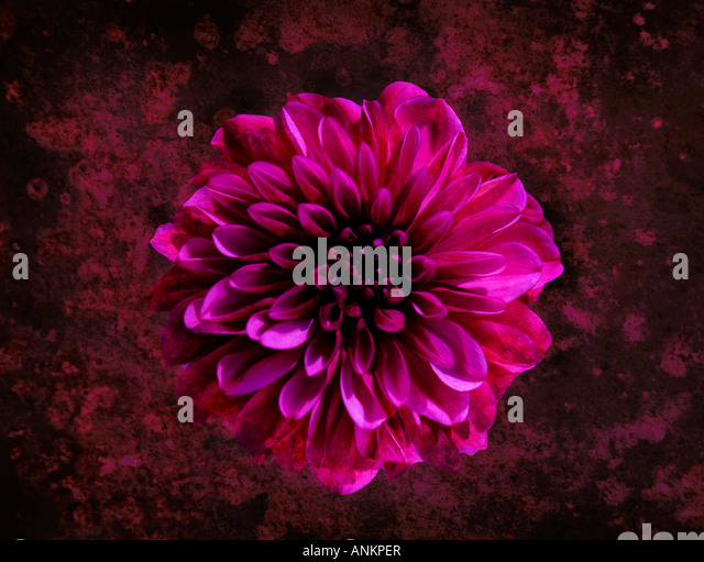 Photo-illustration of a pink Dahlia flower - Stock Image