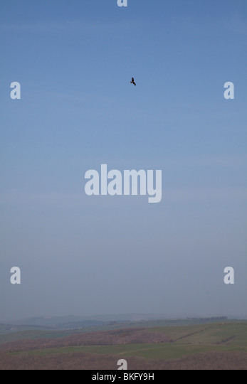 Red Kite Milvus milvus soaring on thermals high above the Cambrian mountains on a warm hazy day in mid Wales - Stock Image